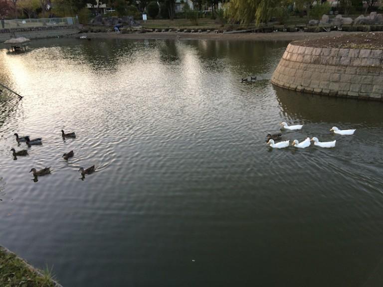 市場池公園 アヒルと鴨