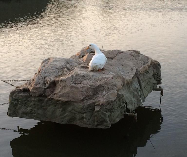 市場池公園 アヒル