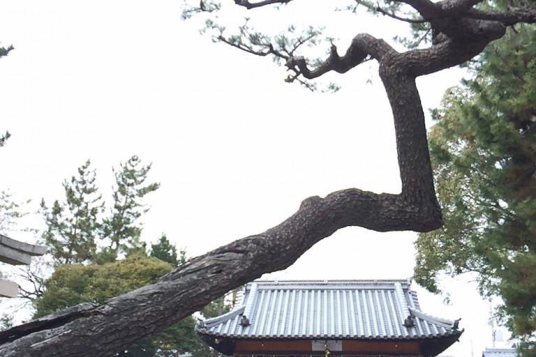味舌天満宮 松の木