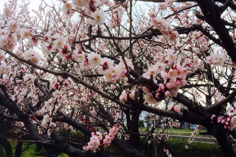 平和公園 梅 ピンク