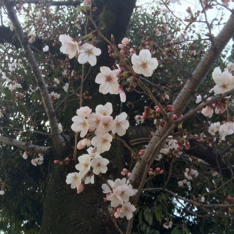 さくら公園 桜