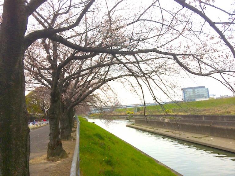 桜 安威川