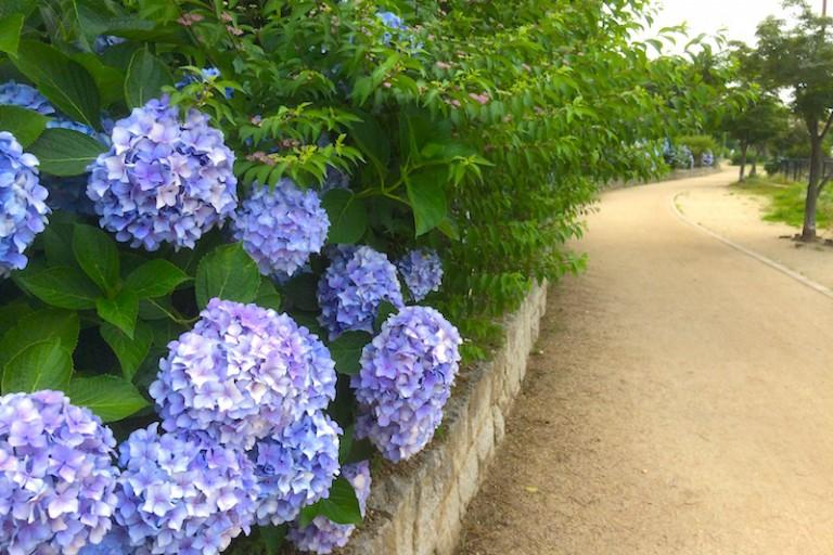 紫陽花と散歩道