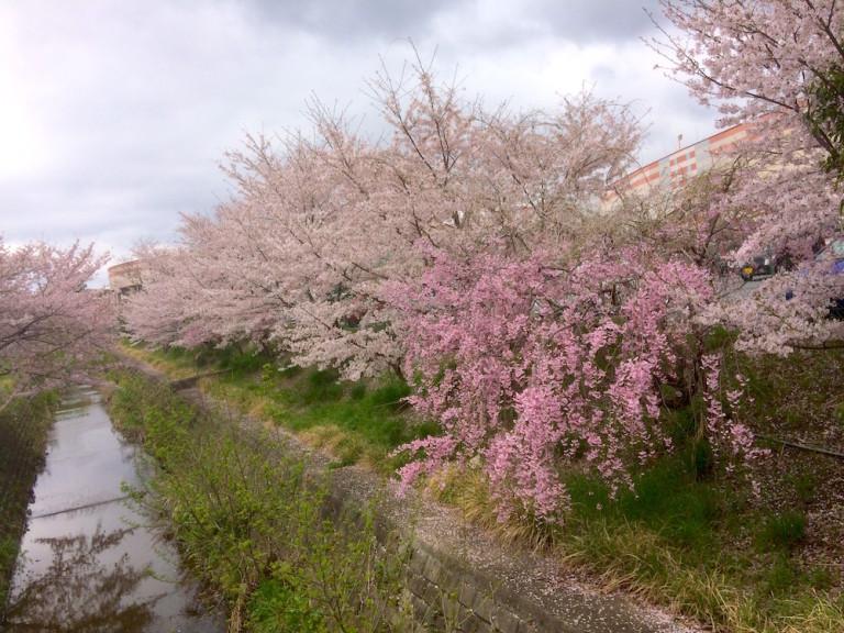 市場池公園 桜