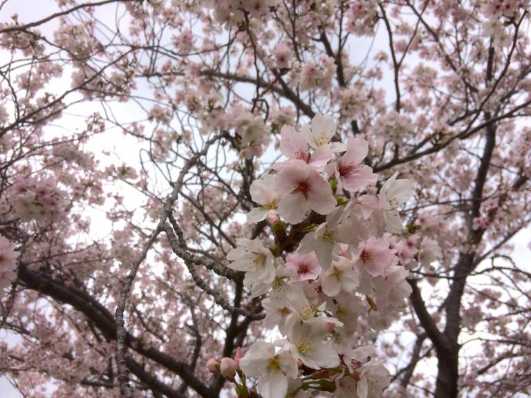 桜 AFフォーカス