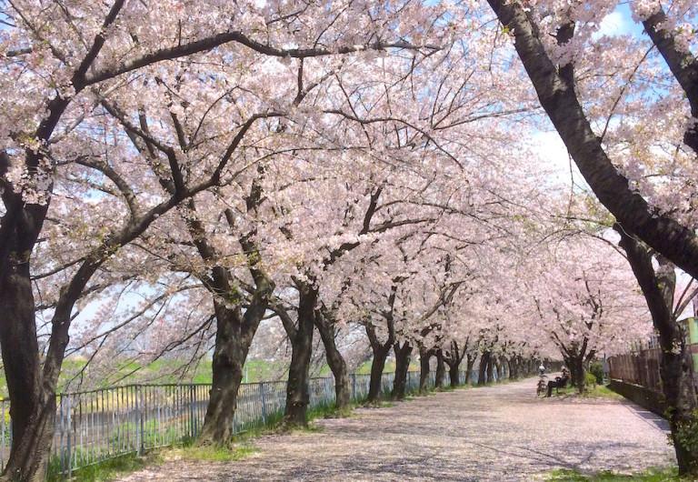 新幹線公園 桜並木