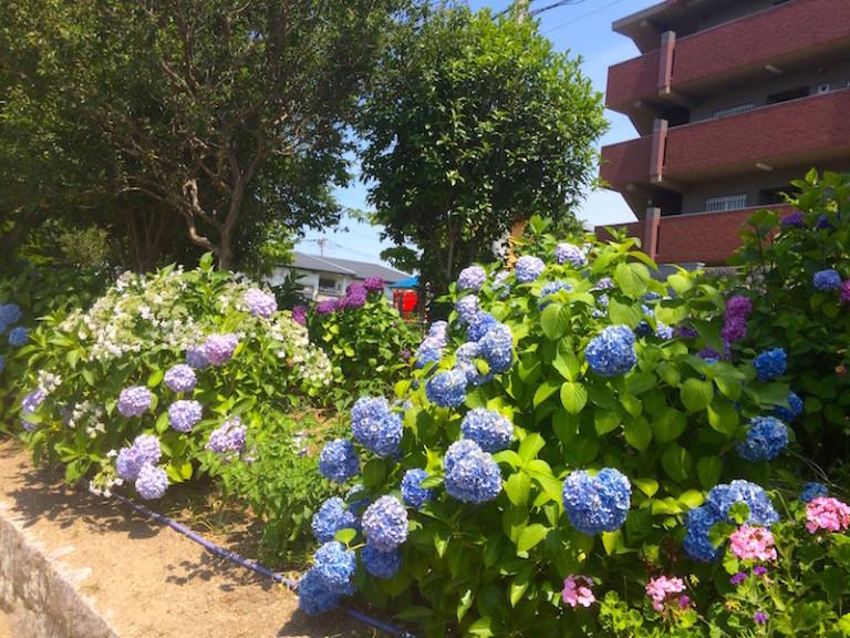 市場池公園 紫陽花