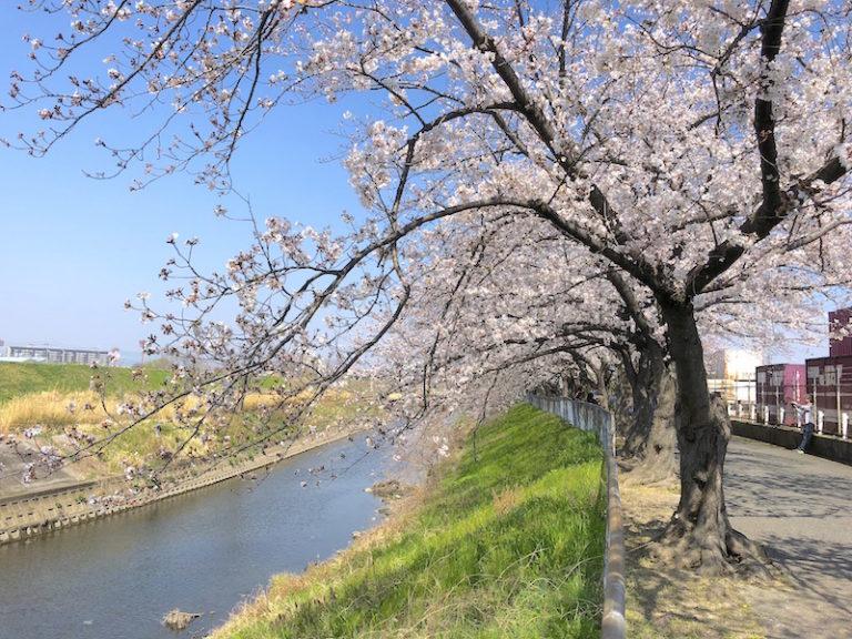 安威川 桜