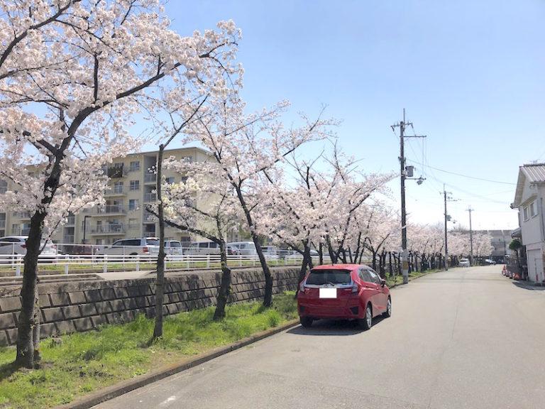 鳥飼上東緑地 桜