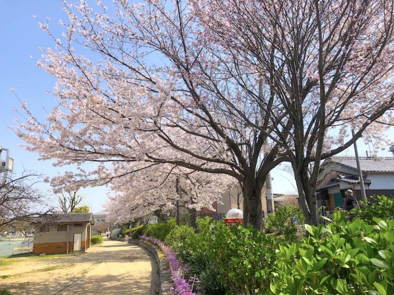 市場池公園 桜並木
