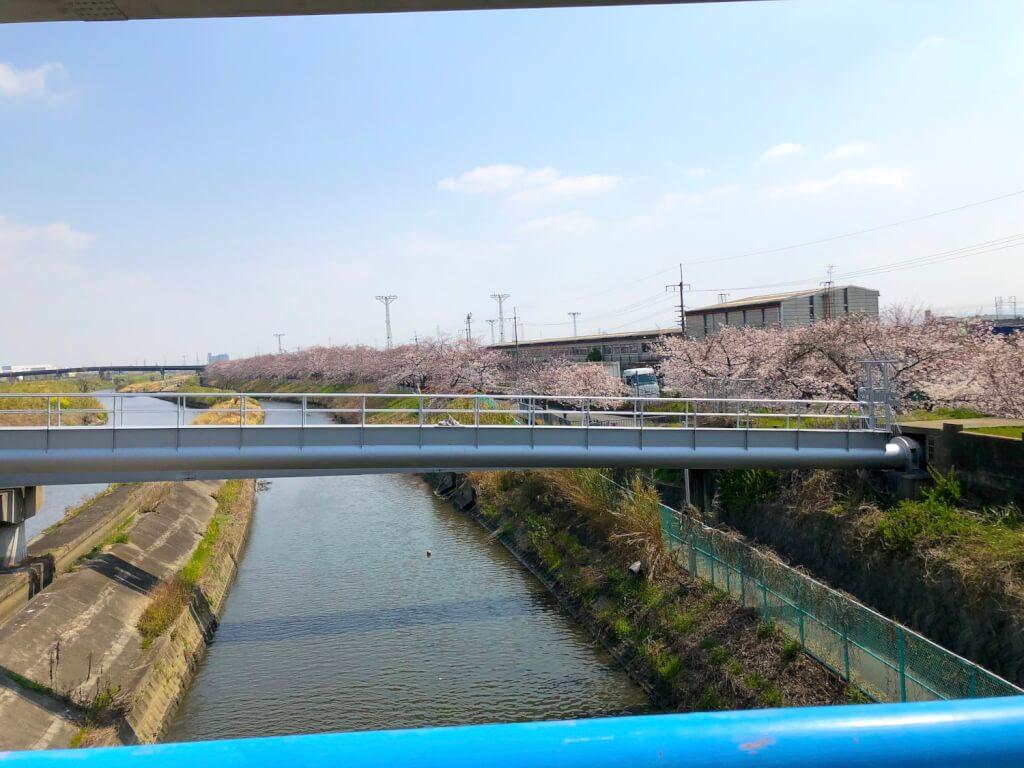 鶴野橋から桜